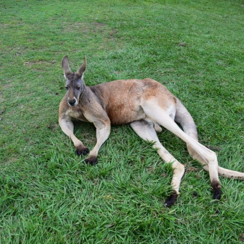 Relaxed Kangaroo